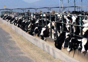 Da vegetariano a vegano - Allevamento di mucche